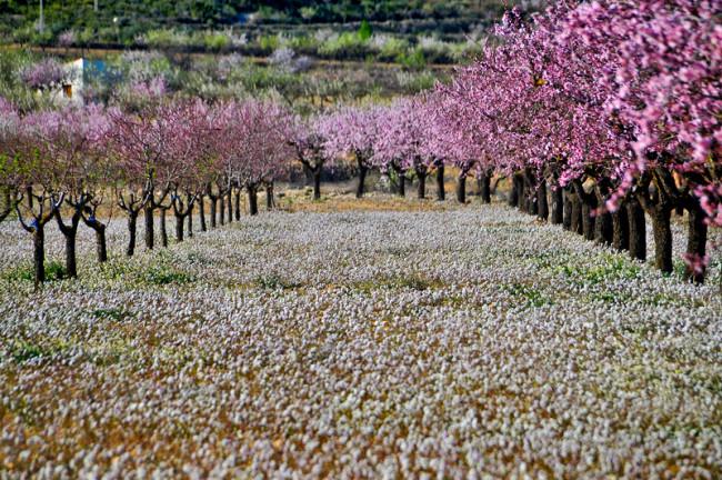 FLOWERING IN CIEZA (MURCIA)